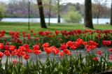 tulips_pathway.jpg