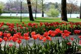 tulips_pathway_3.jpg