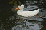 Canard à pompon - Pompon duck