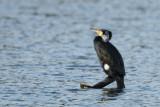Grand cormoran - Great cormorant -Phalacrocorax carbo