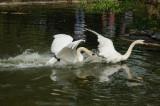 Cygne tuberculé - Mute swan - Cygnus olor