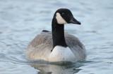 Bernarche du Canada - Canada Goose -Branta canadensis