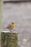 Rougegorge -European Robin -Erithacus rubecula