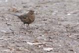 Merle noir - Common Blackbird - Turdus merula