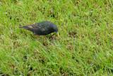 Etourneau sansonnet - Common Starling - Sturnus vulgaris