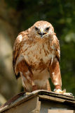 Buse féroce - Long legged buzzard - Buteo rufinus