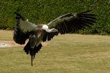 Vautour fauve - Griffon vulture - Gyps fulvus