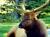 900 lb + bull elk sleeping in the shade  11-26-31 PM.jpg