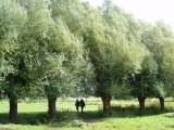 Row of pollard-willows