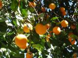 Oranges in the sun
