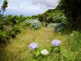 Grassy path with hydrangeas