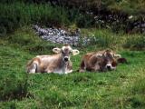 Lazy calves
