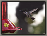Ruby-Throated Humming Bird (3)
