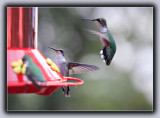 Ruby-Throated Humming Birds (4)