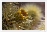 Chollo Cactus In Bloom