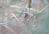 Reed Bunting / Emberiza schoeniclus / Sävsparv