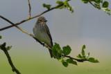 Spotted Flycatcher / Muscicapa striata / Grå flugsnappare