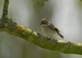Pied Flycatcher / Ficedula hypoleuca / Svartvit flugsnappare