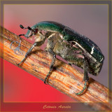 Cetonia Aurata - real size is 10mm....