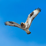 Rough-legged Buzzard (Buteo lagopus), called the Rough-legged Hawk in North America