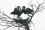 GREAT BLUE HERON NESTLINGS