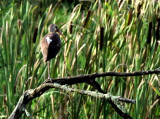 White Ibis Alerted