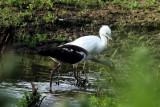 Ibis Takes Crawdad