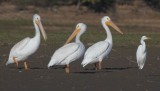 Three Am. White Pelicans with Great Egret