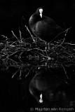 Common coot (Fulica atra)