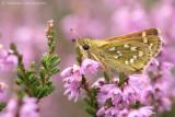 Silver-spotted skipper (Hesperia comma)