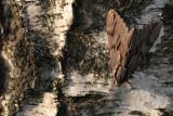 Pine hawk-moth (Sphinx pinastri)