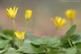 Lesser calandine (Ranunculus ficaria)