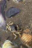 Common shorecrab (Carcinus maenus)