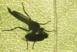 Robberfly spec. (Asilidae spec.)