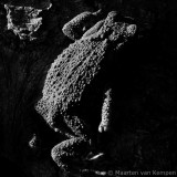 Common toad(Bufo bufo)