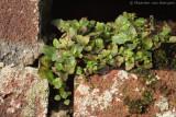 Wall speedwell (Veronica arvensis)