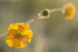 Meadow buttercup (Ranunculus acris)