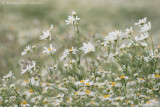 Wild chamomile (Matricaria recutita)