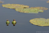 Yellow waterlilly (Nuphar lutea)