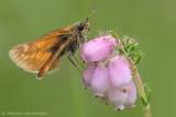 Large skipper (Ochlodes venata)