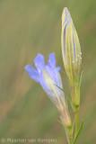 Alcon blue (Maculinea alcon)