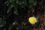 Scrambled-egg slime mold (Fulico septica)