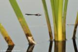 Pond skater (Gerridae spec.)