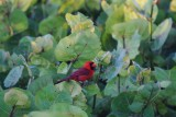 Cardinal in the sea grape