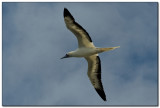 Red Footed Booby 2