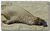 Beached Elephant Seal