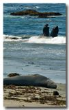 Elephant Seal Battle and Audience