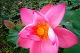 Vivid Lotus