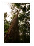 The Big Tree of Kruing
