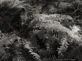 Ferns in Winter